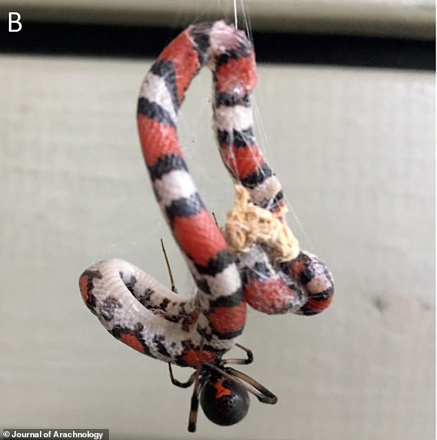 A spider can deliver a paralyzing bite to a snake, while the snake can't really use its fangs on such a tiny opponent. Pictured: A juvenile scarlet snake trapped in the web of a brown widow (L. geometricus) in Georgia