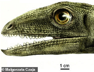 The team believe the tiny beetles ¿ which were around 0.04 inches long ¿ were consumed by a beaked ancestor of the dinosaurs called Silesaurus opolensis, pictured