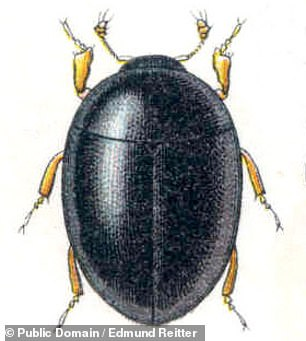 Pictured:T. coprolithica belongs to the suborder Myxophaga ¿ whose modern relatives includeSphaerius acaroides, depicted, which lives along streams and rivers and feasts on tiny algae