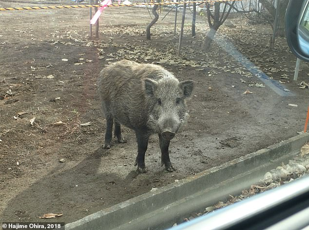 A wild boar encountered inside the mandated evacuation zone in Fukushima, Japan. Researchers took muscle samples from local slaughterhouses