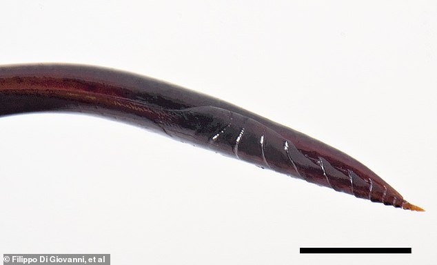 The ovipositor, a tube-like organ used by insects to lay eggs, is 'immensely long,' researchers said