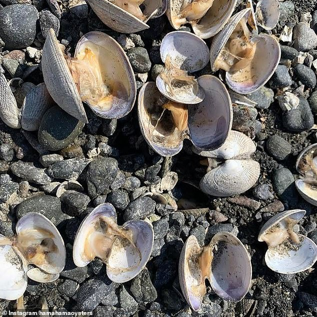 Hama Hama Oyster company, a family-run shellfish farm, shared images of their clam beds in Hood Canal that are littered with open shells and dead clams that were baked to death by the heat