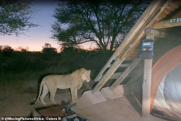 Sizing up his prey: The curious big cat investigates the tent belonging to Robert Hofmeyr, 43, and his brother-in-law Andy Caldwell, 39 inKgalagadi Transfrontier Park, Botswana