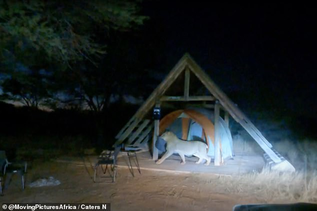 The young male lion struts into the campers' tent and leaves with its prize: A blue pillow