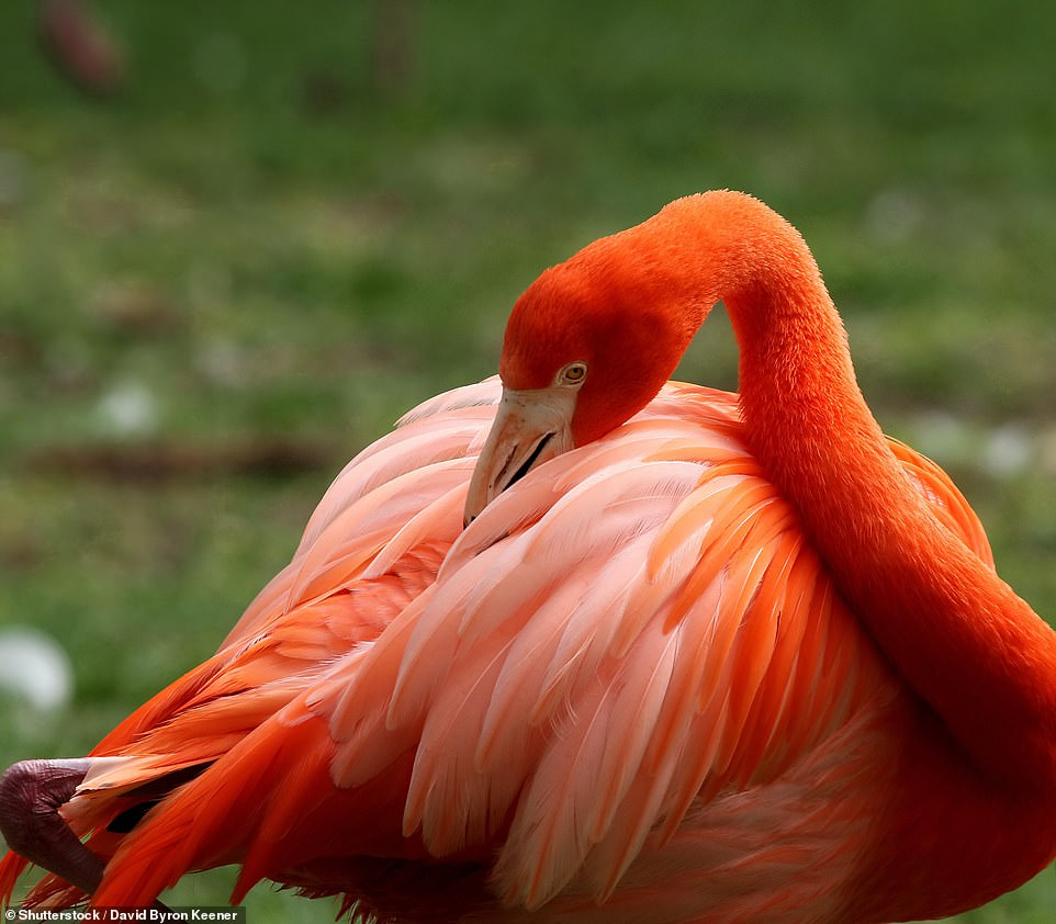 In some species, the application of natural 'cosmetics' can, more like regular human makeup, serve to augment their appearance. When in groups around mating season, flamingos, for example, secrete and apply natural pigments called carotenoids when preening (pictured) in order to make themselves even more colourful