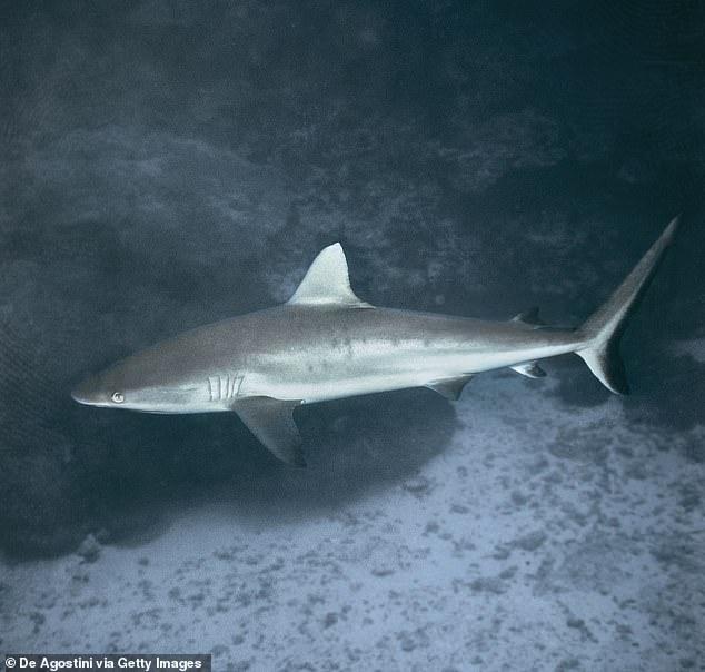 Sandbar shark (pictured). Sandbar sharks were active in the afternoon, peaking around 4 pm
