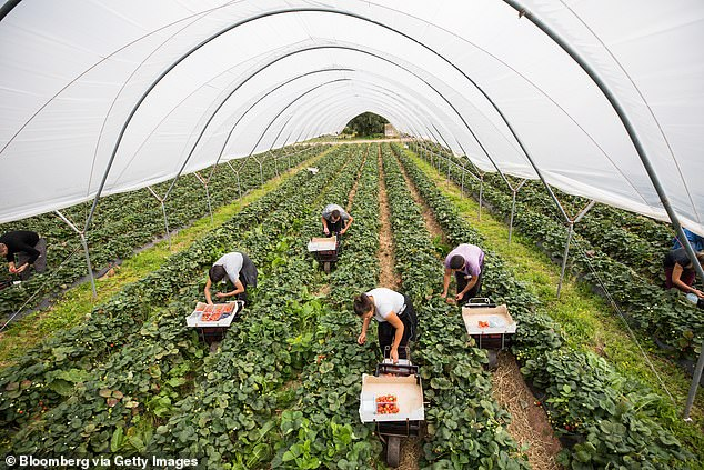 Home Office figures reveal more than 16,000 labourers were shipped in from across 37 countries for the 2021 season after being recruited by horticultural farmers - including from as far away as Barbados, Nepal, Tajikistan, Kenya and the Philippines (Pictured: Fruit pickers collect strawberries at a farm inHereford,Herefordshire, in August 2018)