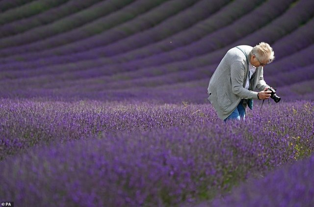 The weather will remain dry and sunny for the rest of the day today, with spotty showers which are 'much lighter than in recent days' seen only in parts of Scotland, Wales and England', according to the Met Office.Pictured: Locals walking through lavender fields in Sussex