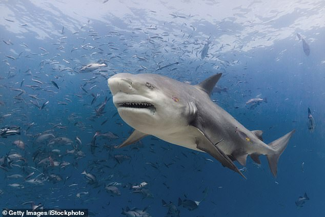 It is not known what kind of shark attacked Santos, though experts say it was likely a bull shark (pictured) or a tiger shark