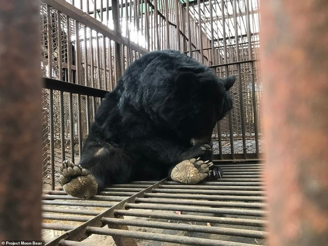 Although Asiatic black bears, better known as moon bears, are native to Korea, the ones in captivity were imported from Russia and China during the early 1990s