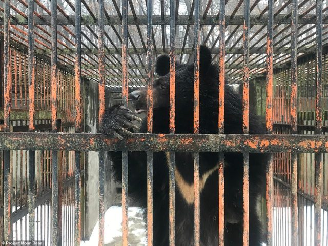 A moon bear stands in a cage with its crescent-shaped chest marking clearly visible