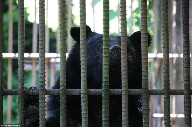 Bear Bile has also been used as an ingredient in everyday products including shampoo, toothpaste, rice wine and even tea