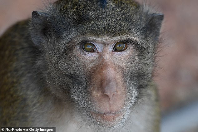 A man from Texas traveling back in the United States from Nigeria has been confirmed to be infected with monkeypox, first discovered in the crab-eating macaque (pictured)