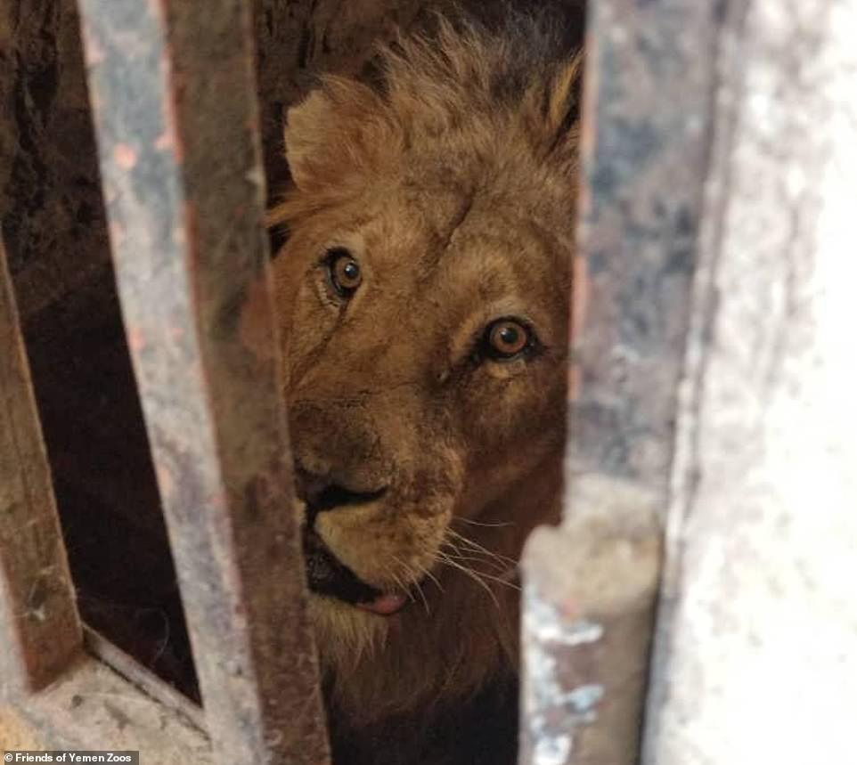 Video footage and photographs of the starving lions show how feeble they are and you can hear their cries of hunger. Pictured: Moklees