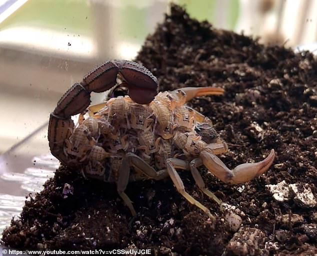The UV light is converted when it interacts with the scorpion's proteins, but scientists have yet to determine the evolutionary reason behind this mystifying function.  Pictured are the scorpions without the UV light