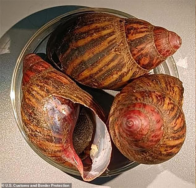 15 giant land snails that can wreak havoc on the environment and cause meningitis in humans have been trapped at a Houston airport, officials said