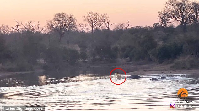 As it furiously swims to the other side the impala is met with a pod of grumpy hippos lying in the shallows