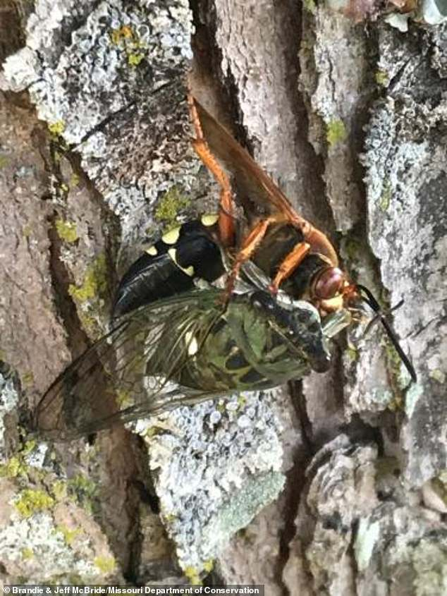 A wasp that emerges from the ground this time of year looks eerily similar to the murder hornets that wrecked havoc on Washington State in 2020, but these insects are harmless to humans and only have a single prey ¿ cicadas