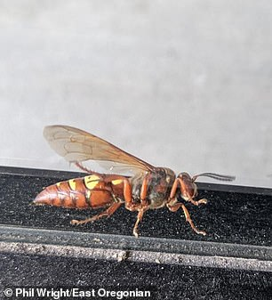 Cicada killer wasps can grow up to two inches long and are either black or brown, with colorful yellow markings on several segments of their abdomen ¿ which look very similar to the Asian hornet