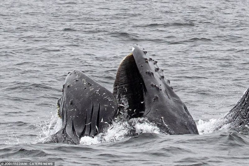 Frediani said: 'I was onboard Monterey Bay Whale Watch's Sea Wolf II, when two of the whales did a feeding lunge, coming up quite close to a boat from another company'
