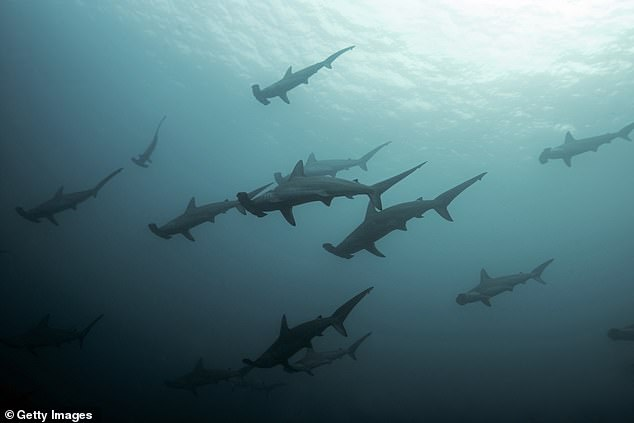 Hammerheads breed once every two years and can live up to 44 years of age