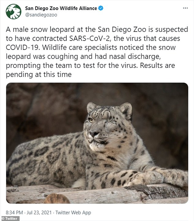 Three-year-old Naphisa and 9-year-old Ramil tested positive late in July. It's unclear how the two big cats contracted the virus
