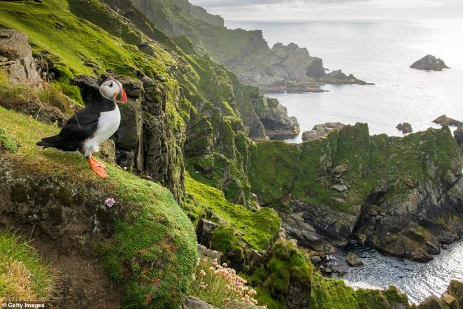 An Atlantic puffin perches at the clifftop edge in the Hermaness National Nature Reserve on Unst, Shetland Islands