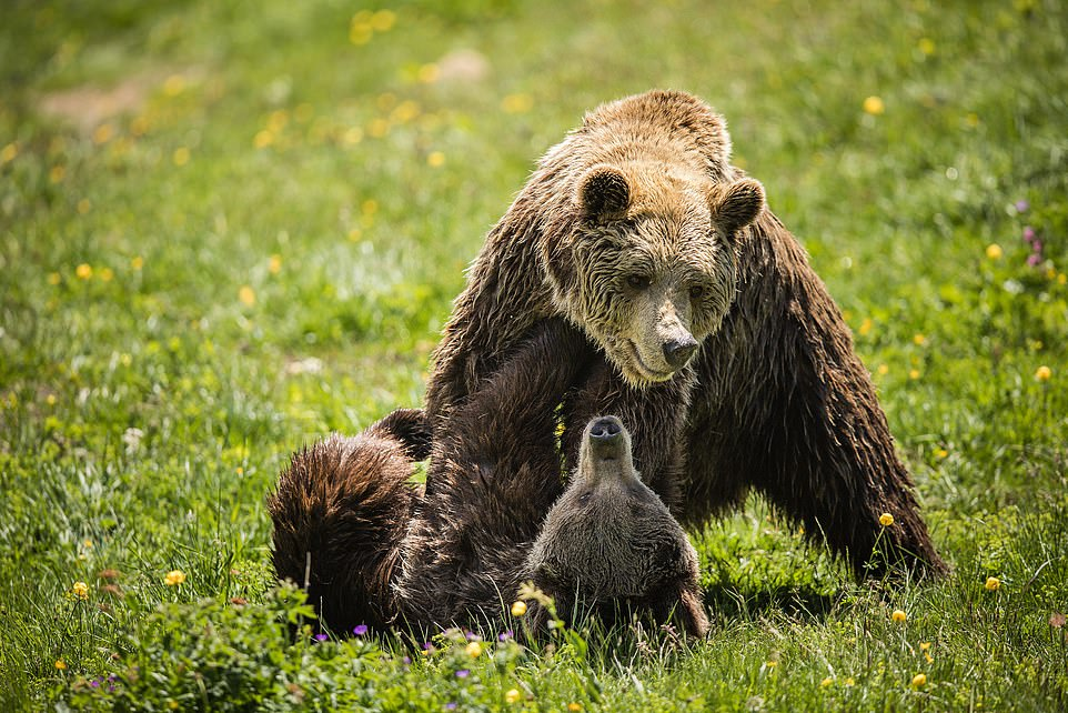 After waking up, she was introduced to her first ever bear companion - a male named Meimo (pictured, the pair playing together in spring this year)