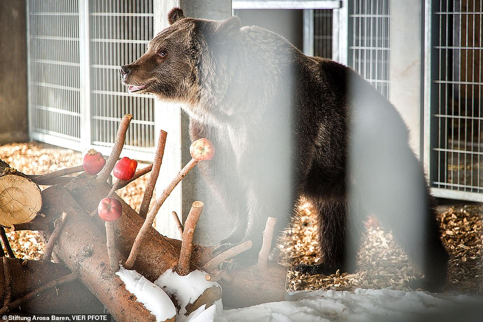 Jambolina is pictured early after her arrival at the bear sanctuary, adjusting to her new conditions inside an enclosure before being allowed to roam around outside