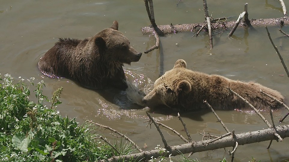 Jambolina and Meimo are pictured bathing together at the sanctuary, with experts saying the two had bonded well before Jambolina tragically died in this week