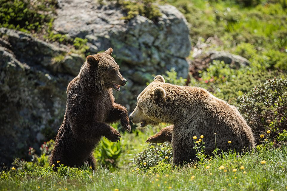 Animal behaviour specialists at the Swiss sanctuary said Jambolina and Meimo quickly began play-fighting, which is a normal social activity for a bear and shows that the pair are bonding