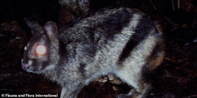 Little is known about the rabbit and it is categorized as Data Deficient on the IUCN Red List