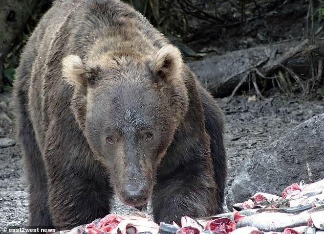 Balobanova is feared to have been killed by wild brown bears (file photo) after she reportedly vanished during a forest wedding celebration where she had argued with a guest