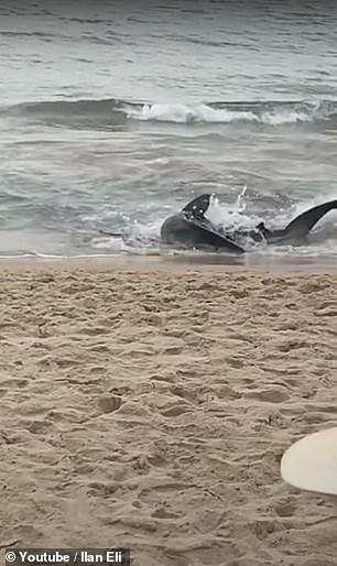 Shark was seen thrashing