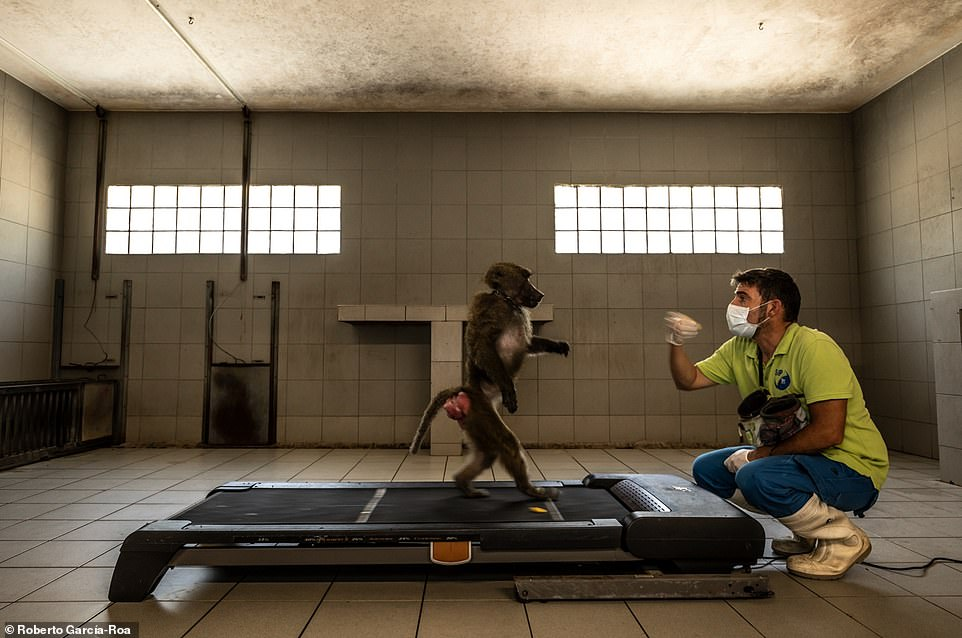 Best image for 'human evolution and ecology': 'Learning to Be Human' captures a researcher using a baboon to study the evolution of human locomotion