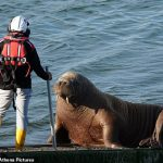 Wally's summer holidays: Norway's runaway walrus is the tourist Covid regulations forgot... 💥👩💥