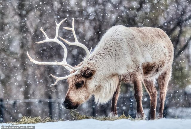 CARIBOU, NUNAVUT, CANADA: Caribou, also known as reindeer, live across the Arctic region, Martin explains