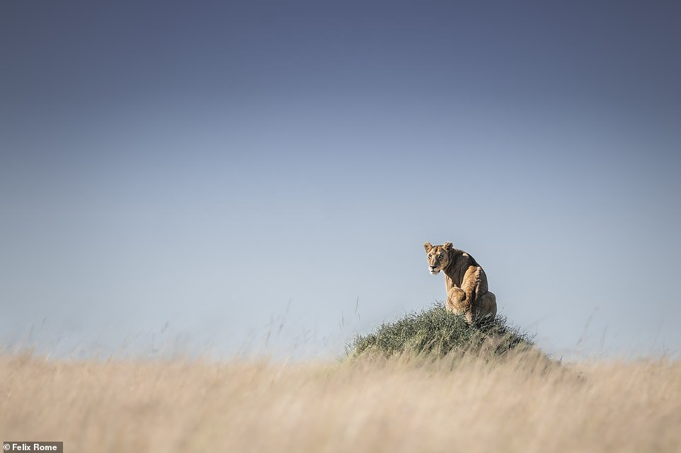 'I took this image in one of my YouTube videos,' explained Felix. 'If you've been watching them, you will know I love clean images, and it doesn't get cleaner than this. This female lion was chilling on top of a termite mound in the mid-morning sun. She had a great vantage point to find her next meal. I was with her for an hour before she decided to get up and head towards the river for a drink, where she met up with friend'
