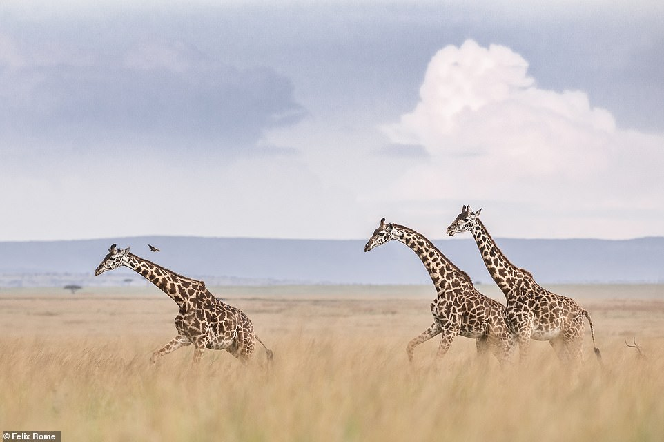 'Giraffes have always been one of my favourite animals to watch,' said Felix. 'They stroll gracefully across the plains, acting as moving perches for small birds. I took this image while spending a week in isolation after I arrived at camp. This group (a journey) passed by in front of my tent. I couldn't resist getting the camera out and taking an image of these beautiful, towering animals'