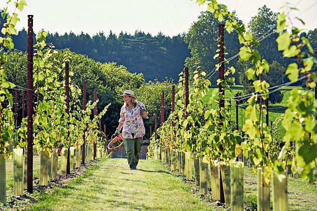 Lady Carnarvon revealed it has taken four years of research to have chardonnay grapes planted in two quadrants and pinot noir in two more (pictured)