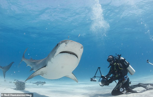 Humans break up shark's socialising when baiting them with food, researchers led from the Zoological Society of London (ZSL) found. Pictured: researchers study the tiger sharks