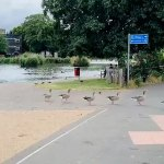 Quack march! Moment geese stop the traffic as they waddle across a zebra crossing in single file 💥👩💥
