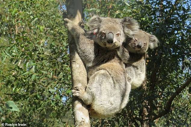 Ember and her joey (pictured) were spotten 18 months after Ember was released into the wild following her recovery from injuries sustained in the 2019-2020 bushfires