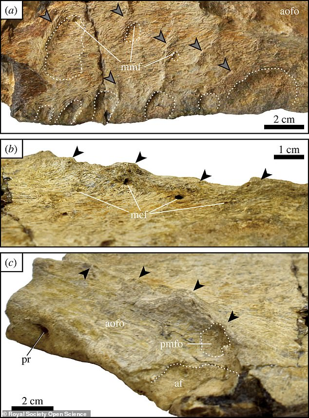 An analysis of the dinosaur's jaw suggests ithad blade-like teeth measuring up to six inches long - similar to a Great White Shark's