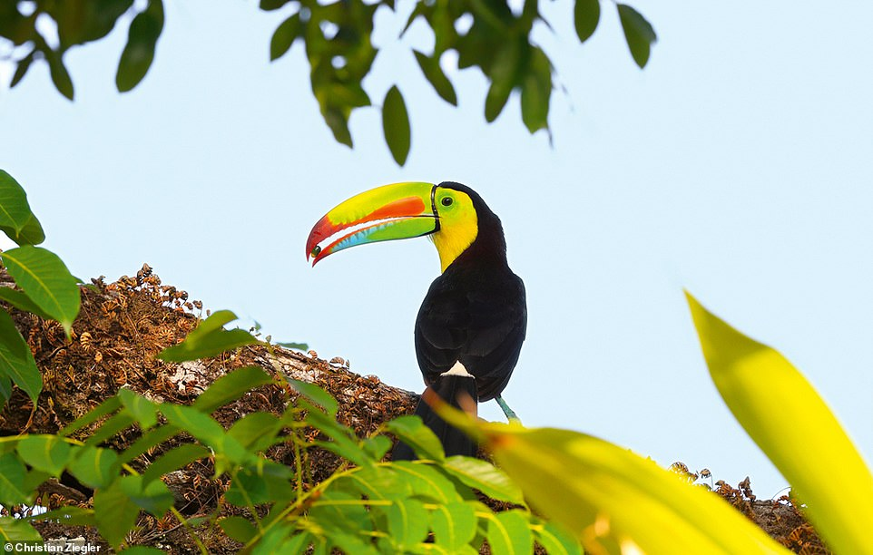 This colourful photo shows a keel-billed toucan feeding on palm fruits in Panama. Ziegler reveals: 'Toucans are one of the few birds that can disperse plants with large seeds and play a key role in dispersal in forests in Central and South America. They are especially important in young forests growing on abandoned land, as they bring in seeds of many different species that will help the forest regenerate a diverse tree community'