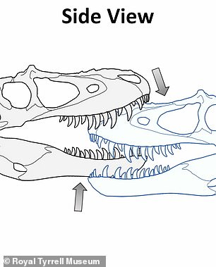 Based on the location of facial scars on tyrannosaurid dinosaurs, researchers at Alberta's Royal Tyrrell Museum re-created what the attacks might have looked like