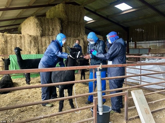 Three Government officials who arrived with a police escort surrounding Geronimo the alpaca at Shepherds Close Farm in Wooton Under Edge, Gloucestershire