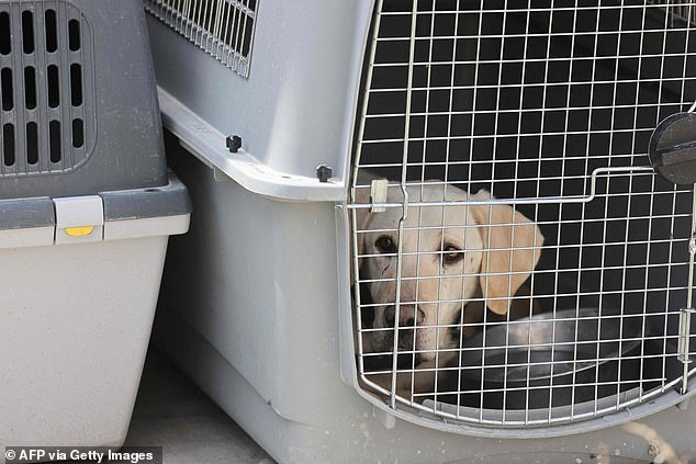 The dogs were found in cages in US Forces and former Afghan police zones of the airport after the chaotic evacuation of Kabul came to an end on August 30
