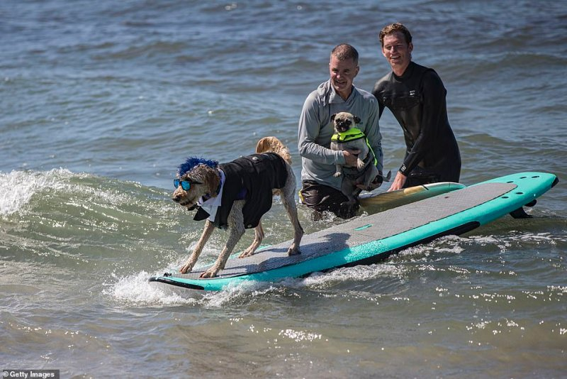 Derby the surfing dog (in tuxedo) competed at Sunday's competition which aimed toraise money for orphaned pets at Helen Woodward Animal Center