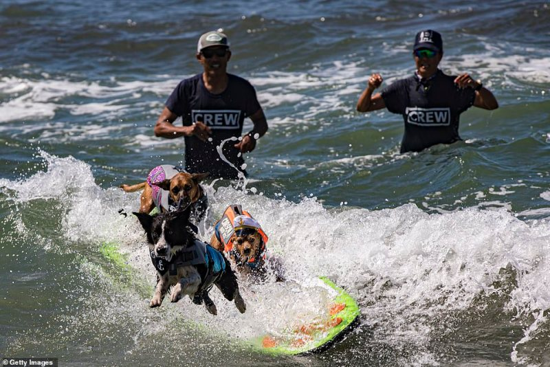 Three dogs were seen sharing one surf board during the competition